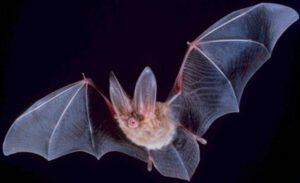 תמונת עטלף בתקריב