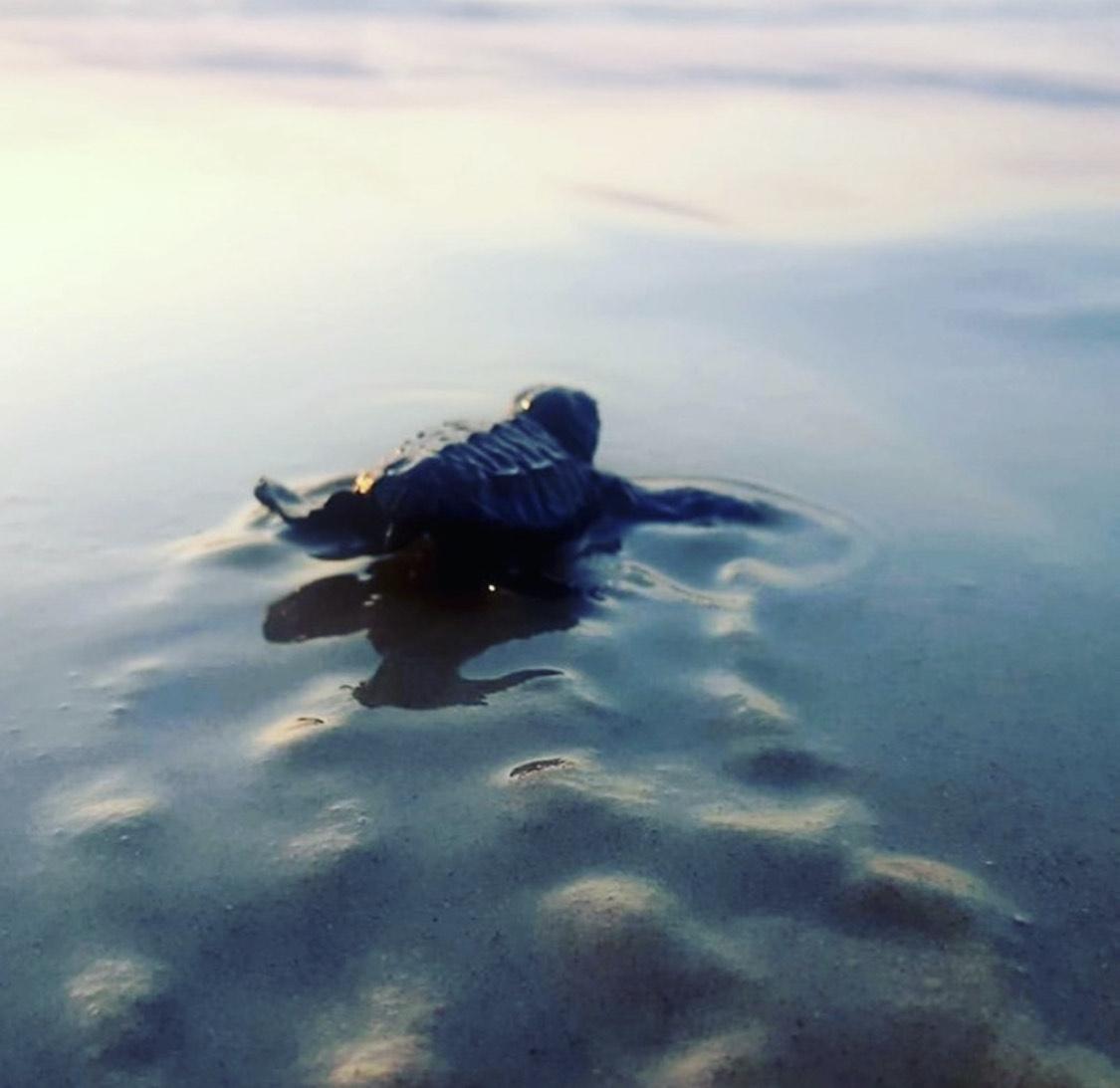 צבים בחוף בצת